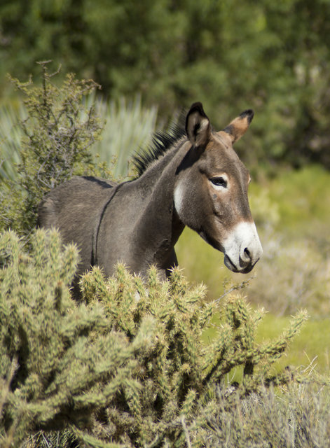 A wild burro grazes along the side of Bonnie Springs Road near Red Rock Canyon National Recreation Area in Las Vegas on Monday, Aug. 8, 2016. The Bureau of Land Management is currently rounding up ...