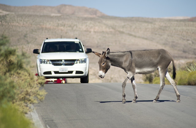 A wild burro crosses Bonnie Springs Road near Red Rock Canyon National Recreation Area on Monday, Area in Las Vegas on Monday, Aug. 8, 2016. The Bureau of Land Management is currently rounding up  ...
