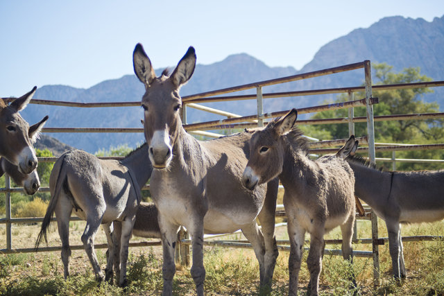 Captured wild burros are kept at Oliver Ranch near Red Rock Canyon National Recreation Area in Las Vegas on Monday, Aug. 8, 2016. The Bureau of Land Management is currently rounding up some of the ...
