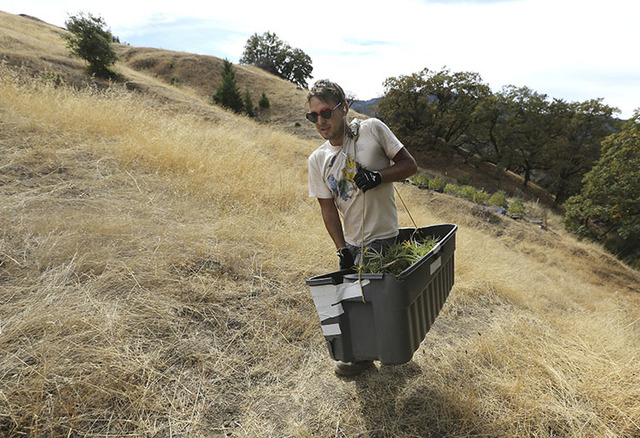 Anthony Viator carries a bin filled with marijuana buds harvested from the farm of grower Laura Costa, near Garberville, Calif. (Rich Pedroncelli/The Associated Press)