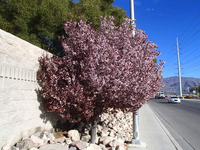 At this time of year, chelated iron must be sprayed on leaves | Las