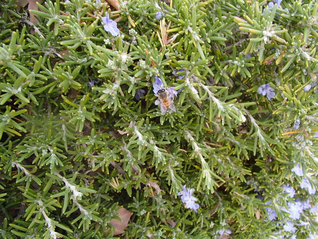 COURTESY Bees are attracted to the blooms of rosemary bushes.