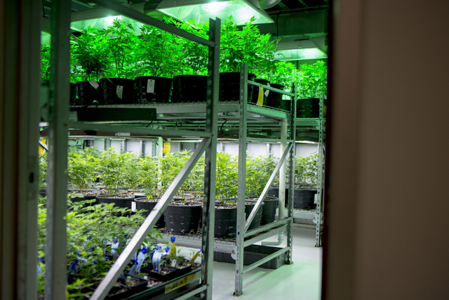 Marijuana plants grow in Medicine Man, a family owned dispensary in Denver Colorado, Friday, Sept. 2, 2016. (Elizabeth Page Brumley/Las Vegas Review-Journal) Follow @ELIPAGEPHOTO