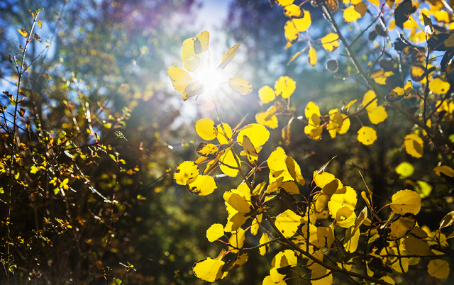 A group of aspens at the foot of Mary Jane Falls trail recently turned a bright shade of yellow marking the beginning of the fall season on Wednesday, Oct. 5, 2016, on Mount Charleston. (Benjamin  ...