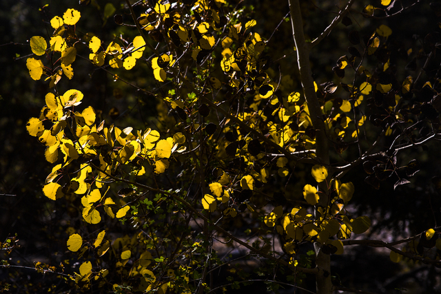 A group of sspens at the foot of Mary Jane Falls trail recently turned a bright shade of yellow marking the beginning of the fall season on Wednesday, Oct. 5, 2016, on Mount Charleston. (Benjamin  ...