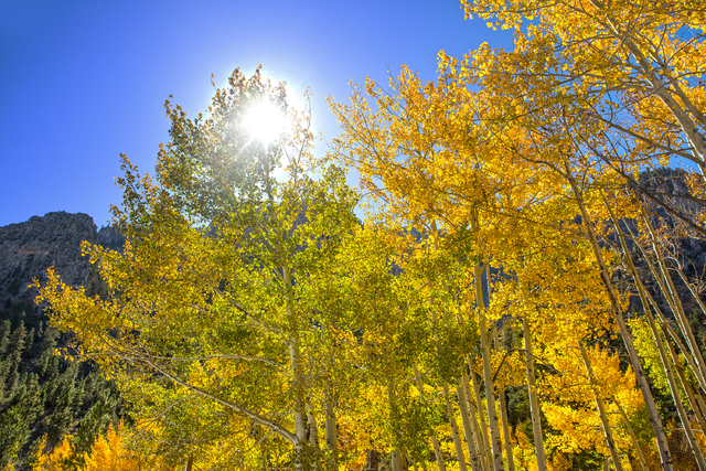A group of aspens at the foot of Mary Jane Falls recently turned a bright shade of yellow marking the beginning of the fall season on Wednesday, Oct. 5, 2016, on Mount Charleston. (Benjamin Hager/ ...
