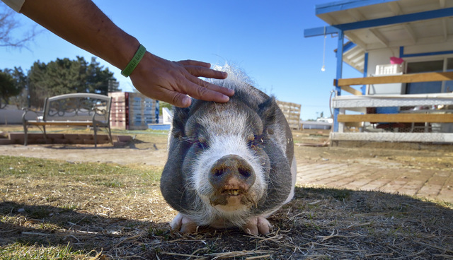 Petunia the potbellied pig gets some attention from farm manager Trench Picone at the V Animal Sanctuary at 2801 E. Eldorado Lane in Las Vegas on Thursday, Jan. 15, 2015. (Bill Hughes/Las Vegas Re ...