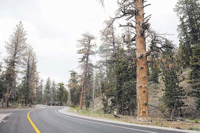 Ponderosa pine trees are shown on Mount Charleston in June, 2016. (Loren Townsley/Las Vegas Review-Journal)