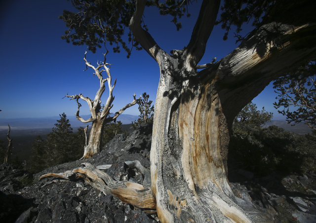 Bristlecones pine trees in the Snake Range of Great Basin National Park and elsewhere in Nevada, including Mount Charleston, were the subject of a recent study about the impact of mountain pine be ...