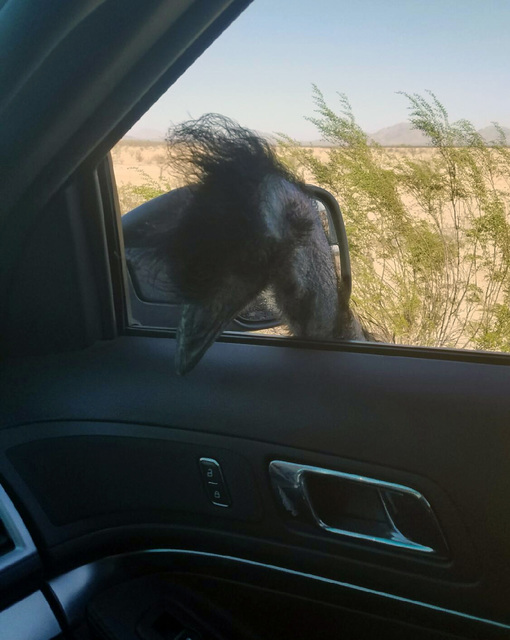 An emu looks inside a state trooper's vehicle in Phoenix, Friday, Oct. 21, 2016.  (Arizona Department of Public Safety via The AP)