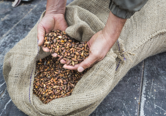 Dayer LeBaron, owner of WholesalePineNuts.com, holds pine nuts near Baker, Nev. on Wednesday, Sept. 28, 2016. (Jeff Scheid/Las Vegas Review-Journal Follow @jeffscheid)