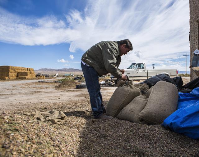 Dayer LeBaron, owner of WholesalePineNuts.com, bags pine nuts near Baker, Nev. on Wednesday, Sept. 28, 2016. (Jeff Scheid/Las Vegas Review-Journal Follow @jeffscheid)
