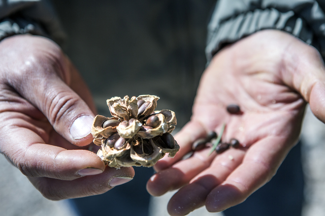 Dayer LeBaron, owner of WholesalePineNuts.com, holds a pine nut while harvesting near Sacramento Pass, about 320 miles north of Las Vegas, on Wednesday, Sept. 28, 2016. (Jeff Scheid/Las Vegas Revi ...