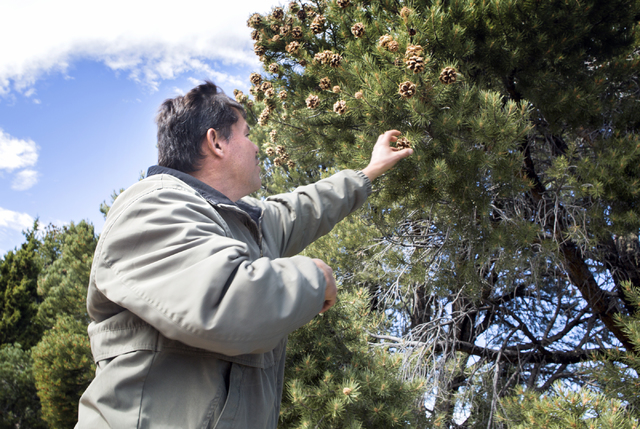 Dayer LeBaron, owner of WholesalePineNuts.com, harvests pine nuts near Sacramento Pass, located about 320 miles north of Las Vegas, on Wednesday, Sept. 28, 2016. (Jeff Scheid/Las Vegas Review-Jour ...