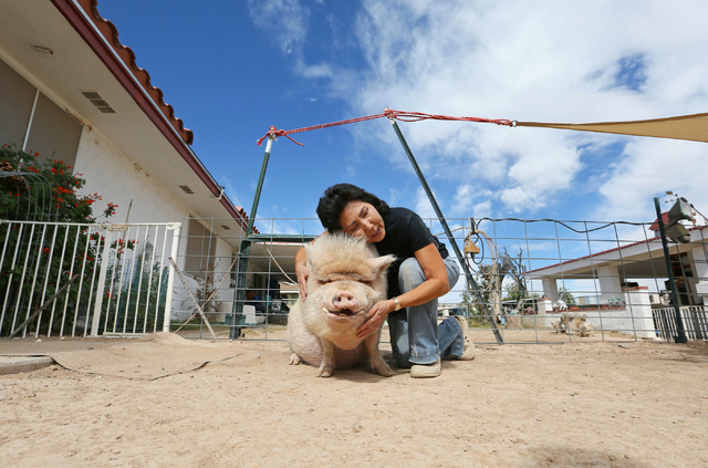 Crystal Kim-Han, founder and managing director of the pig rescue VegasPigPets, hugs her 250-lb. pet potbellied pig named Mo at her home Monday, Oct. 3, 2016, in Las Vegas. (Ronda Churchill/Las Veg ...