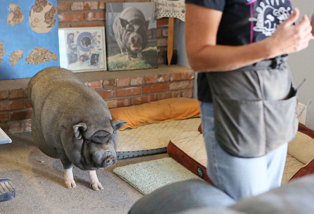 Bonnie, a 200-lb. emale pet potbellied pig, walks near her owner Crystal Kim-Han, founder and managing director of the pig rescue VegasPigPets, in Kim-Han's home Monday, Oct. 3, 2016, in Las Vegas ...