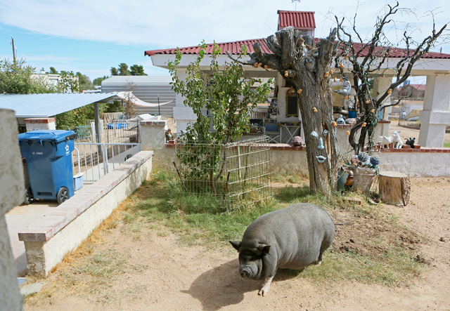 Bonnie, a 200-lbs. female pet potbellied pig, stands in the pig-friendly backyard of Crystal Kim-Han, founder and managing director of the pig rescue VegasPigPets, Monday, Oct. 3, 2016, in Las Veg ...