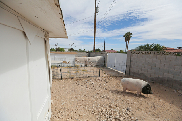 Danji, a 187-lb. male potbellied pig that is up for adoption, relaxes in his pen at Kim-Han's back yard in Las Vegas. (Ronda Churchill/Las Vegas Review-Journal)