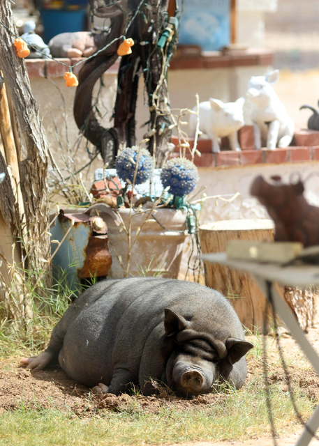 Bonnie, a 200-lb. female pet potbellied pig, lounges in the pig-friendly backyard of Crystal Kim-Han, founder and managing director of the pig rescue VegasPigPets, Monday, Oct. 3, 2016, in Las Veg ...