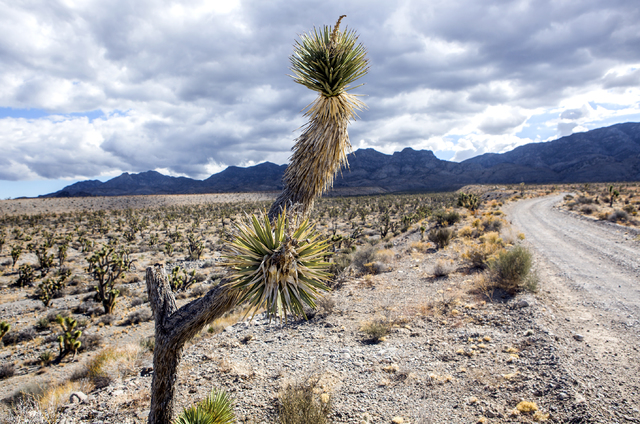 A Joshua tree is seen near a road in the Desert National Wildlife Refuge on Friday, Sept. 30, 2016. The Air Force prepares to hold public meetings on a plan to expand its training range onto anoth ...