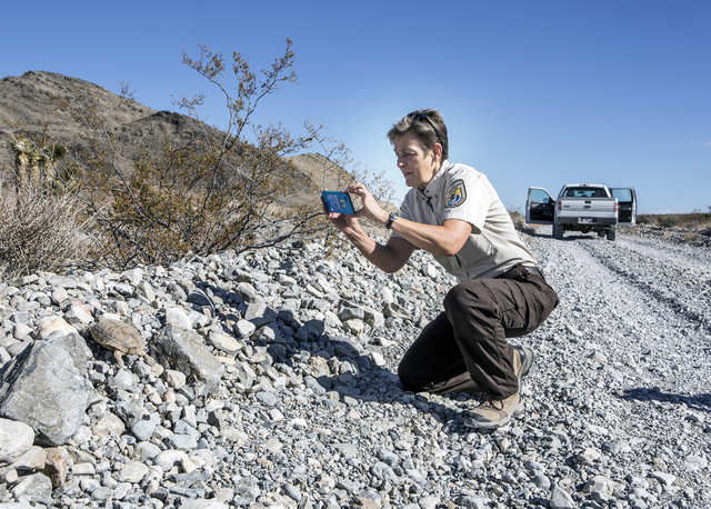 U.S. Fish & Wildlife Service refuge manager Amy Sprunger, takes a photo of a desert tortoise in the Desert National Wildlife Refuge on Friday, Sept. 30, 2016. The Air Force prepares to hold pu ...