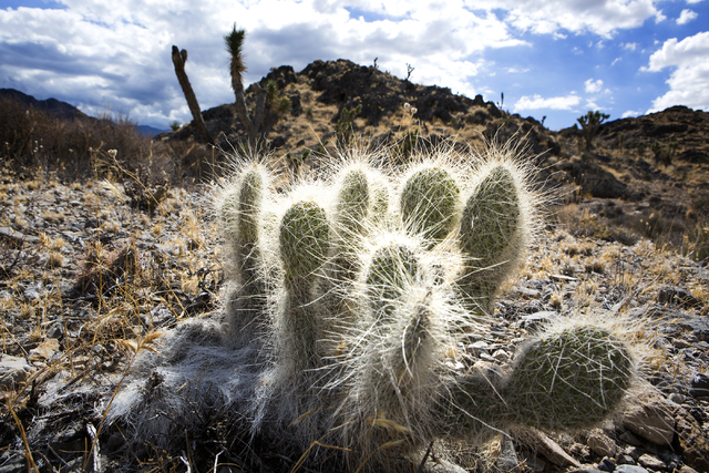 A cactus is seen, Friday, Sept. 30, 2016, in the Desert National Wildlife Refuge. The Air Force prepares to hold public meetings on a plan to expand its training range onto another 227,000 acres o ...