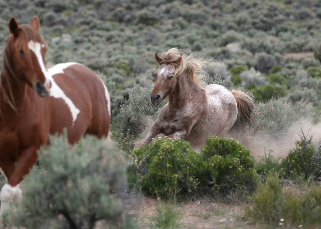 A herd of wild horses graze in Mound House, Nev., about 12 miles east of Carson City, on Tuesday, April 26, 2016. Nevada Gov. Brian Sandoval is pursuing legal options to force the federal governme ...