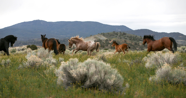 A herd of wild horses graze in Mound House, Nev., on Tuesday, April 26, 2016. Nevada Gov. Brian Sandoval is pursuing legal options to force the federal government to fund management of the state's ...