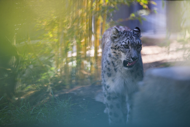 A snow leopard licks its lips after being fed at the San Diego Zoo in San Diego on Sunday, Oct. 9, 2016. The zoo, founded as the Zoological Society of San Diego by Dr. Harry Wegeforth on Oct. 2, 1 ...