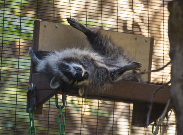 A raccoon relaxes at the San Diego Zoo in San Diego on Sunday, Oct. 9, 2016. The zoo, founded as the Zoological Society of San Diego by Dr. Harry Wegeforth on Oct. 2, 1916, has been celebrating it ...