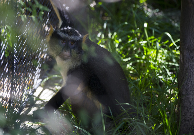 A Wolf's guenon is shown at the San Diego Zoo in San Diego on Sunday, Oct. 9, 2016. The zoo, founded as the Zoological Society of San Diego by Dr. Harry Wegeforth on Oct. 2, 1916, has been celebra ...