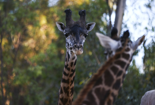 A pair of giraffes get a look at one another at the San Diego Zoo in San Diego on Sunday, Oct. 9, 2016. The zoo, founded as the Zoological Society of San Diego by Dr. Harry Wegeforth on Oct. 2, 16 ...