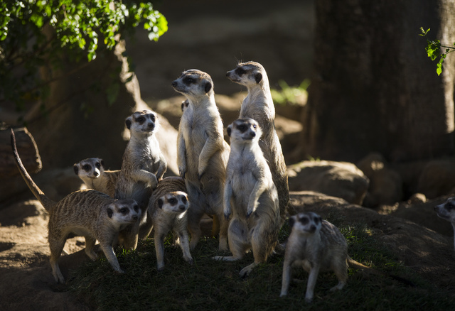 Slender-tailed meerkats gather around at the San Diego Zoo in San Diego on Sunday, Oct. 9, 2016. The zoo, founded as the Zoological Society of San Diego by Dr. Harry Wegeforth on Oct. 2, 1@16, has ...