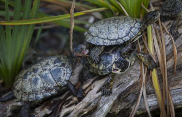 Turtles get in a scuffle at the San Diego Zoo in San Diego on Sunday, Oct. 9, 2016. The zoo, founded as the Zoological Society of San Diego by Dr. Harry Wegeforth on Oct. 2, 116, has been celebrat ...