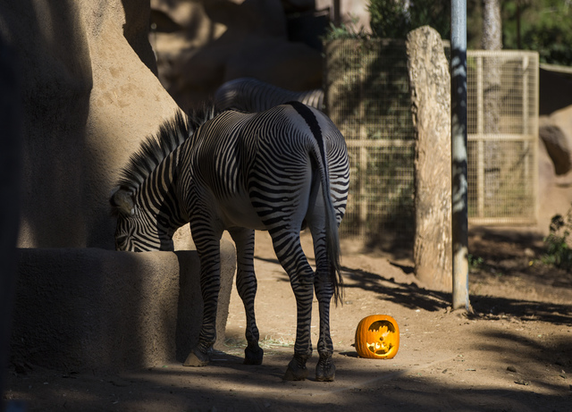 A carved pumpkin sits next to a zebra at the San Diego Zoo in San Diego on Sunday, Oct. 9, 2016. The zoo, founded as the Zoological Society of San Diego by Dr. Harry Wegeforth on Oct. 2, 116, has  ...