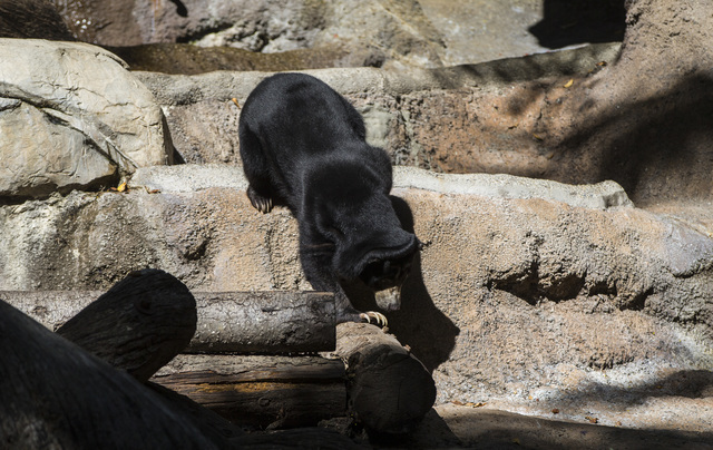 A Bornean sun bear wanders around at the San Diego Zoo in San Diego on Sunday, Oct. 9, 2016. The zoo, founded as the Zoological Society of San Diego by Dr. Harry Wegeforth on Oct. 2, 116, has been ...
