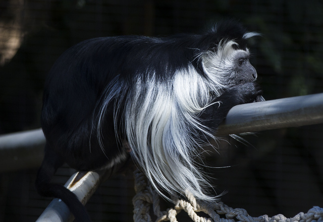 An Angola colobus monkey is shown at the San Diego Zoo in San Diego on Sunday, Oct. 9, 2016. The zoo, founded as the Zoological Society of San Diego by Dr. Harry Wegeforth on Oct. 2, 16, has been  ...