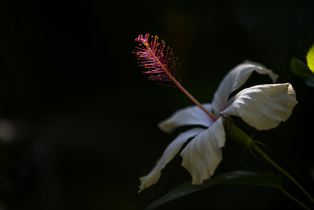A flower is highlighted by the sun at the San Diego Zoo in San Diego on Sunday, Oct. 9, 2016. The zoo, founded as the Zoological Society of San Diego by Dr. Harry Wegeforth on Oct. 2, 1916, has be ...