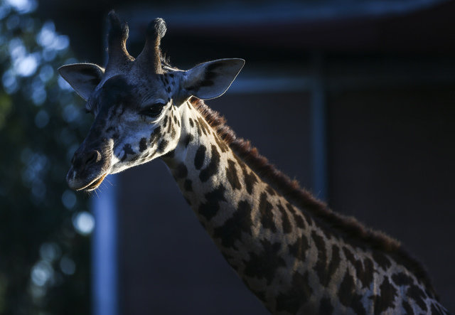 A giraffe is highlighted by the sun at the San Diego Zoo in San Diego on Sunday, Oct. 9, 2016. The zoo, founded as the Zoological Society of San Diego by Dr. Harry Wegeforth on Oct. 2, 1916, has b ...