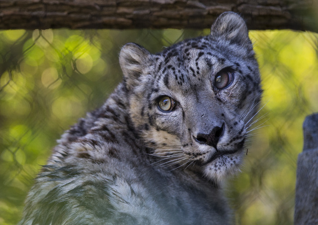 A snow leopard cools off in the shade at the San Diego Zoo in San Diego on Sunday, Oct. 9, 2016. The zoo, founded as the Zoological Society of San Diego by Dr. Harry Wegeforth on Oct. 2, 1916, has ...