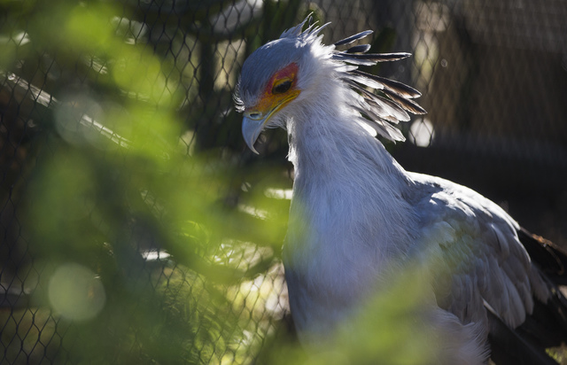 A secretary bird walks around at the San Diego Zoo in San Diego on Sunday, Oct. 9, 2016. The zoo, founded as the Zoological Society of San Diego by Dr. Harry Wegeforth on Oct. 2, 1916, has been ce ...