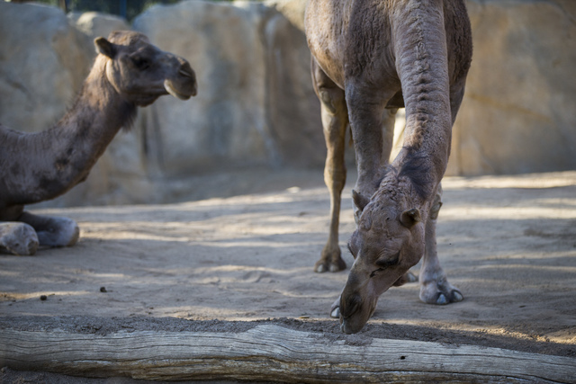 A camel eats food at the San Diego Zoo in San Diego on Sunday, Oct. 9, 2016. The zoo, founded as the Zoological Society of San Diego by Dr. Harry Wegeforth on Oct. 2, 116, has been celebrating its ...
