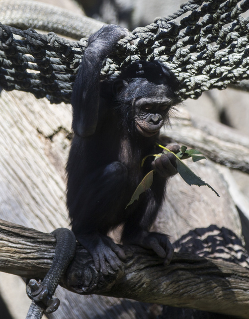 A young bonobo snacks on leaves at the San Diego Zoo in San Diego on Sunday, Oct. 9, 2016. The zoo, founded as the Zoological Society of San Diego by Dr. Harry Wegeforth on Oct. 2, 116, has been c ...