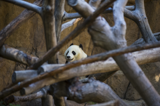 Bai Yun, a giant panda, wanders around at the San Diego Zoo in San Diego on Sunday, Oct. 9, 2016. The zoo, founded as the Zoological Society of San Diego by Dr. Harry Wegeforth on Oct. 2, 1916, ha ...