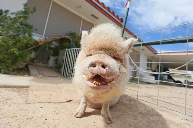 Mo, a 250-lb. pet potbellied pig, stands outside the home of Crystal Kim-Han, founder and managing director of the pig rescue VegasPigPets, Monday, Oct. 3, 2016, in Las Vegas. (Ronda Churchill/Las ...
