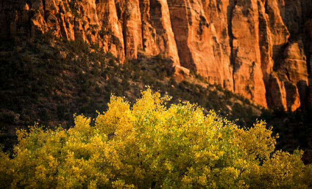Leaves turning near the Zion Canyon Visitor Center on Saturday, Nov.8, 2014. Early November is the best time to enjoy the fall foliage in the park.(Jeff Scheid/Las Vegas Review-Journal)