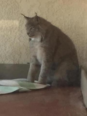 Exotic animals removed from Pahrump home   Las Vegas Review