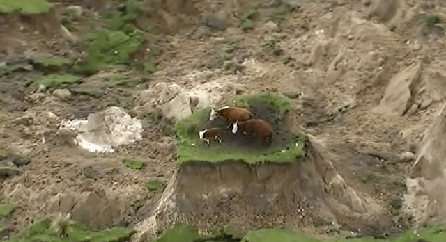 In this image made from video, three cows are stranded on an island of grass in a paddock that had been ripped apart following an earthquake near Kaikoura, New Zealand Monday, Nov. 14, 2016. (News ...