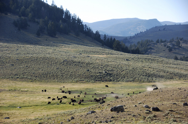 In This Aug. 26, 2016, file photo, a herd of bison appears in Yellowstone National Park's Lamar Valley in Montana. U.S. officials plan to block new mining claims outside Yellowstone National Park  ...