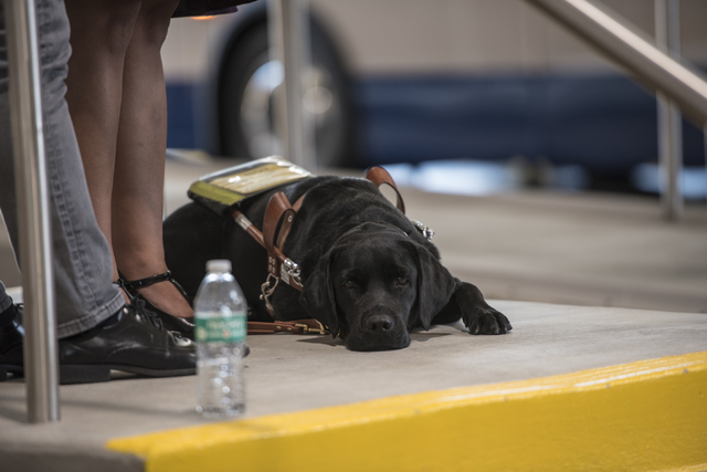 Raquel O'Neill's service dog is seen during a Las Vegas Chapter of the Foundation Fighting Blindness meeting at the RTC Mobility Training Center on Thursday, Sept. 15, 2016. Joshua Dahl/Las Vegas  ...